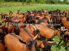 Livestock Full Blood Boer Goats for sale 2015