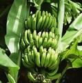 fresca de banano de productos