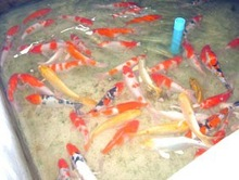 Koi Fish Farm from Thailand