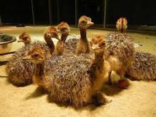 Fertile Ostrich Eggs 100% Guarantee Hatching