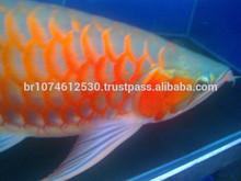 Top Quality Asian Red Arowana Fish