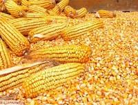 Non GMO Yellow / Red / White Maize Corn Available