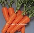 carotte fraîche de 2011 récoltes