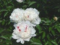 Paeonia lactiflora pall P.E.