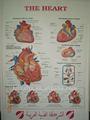 Cuore grafico anatomico/3d poster medico/3d immagine anatomica