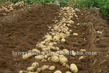 fresh Chinese yellow potato big size