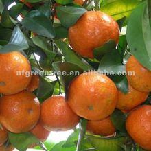 Top quality baby Satang mandarin
