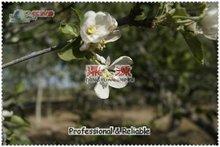 Chia green apple