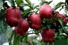 80% red huaniu apple,China