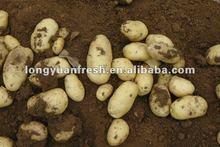 fresh holland potato importer