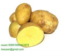 shandong potatoes 2012 new season