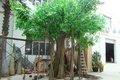 Artificial 3 M de árvores Banyan