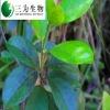 Gymnema Extract,25% Gymnemic acid,Top Quality