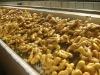 China Yellow Fresh Ginger for medicine