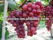 Grape Seed P.E. Proanthocyanidins 95%. Polyphenol 50%-80% UV