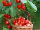 Acerola Extract- Natural Vitamin C