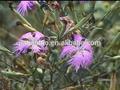Natural Turkesterone 40% / Natural Ajuga Turkestanica extrato