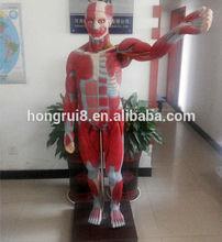 ISO 3-D Anatomy model, Male musles model with internal organs