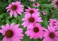 organic echinacea extract,Echinacea Purpurea extract,Echinacea Herb P.E