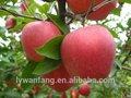 yantai maçã fuji royal gala apple para a exportação