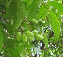 100% natural Olive Leaf P.E. 15%