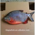 de alta qualidade por atacado de peixes de água doce