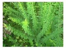 100% Natural Thermopsis lanceolata / Broom Extract