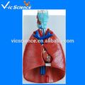 De la laringe, del corazón y de pulmón modelo modelo de anatomía