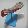 بيع الطبية الساخنة عضلات القدم مع السفن الرئيسية والأعصاب الإنسان تشريح القدم