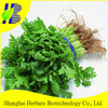 High sprouting rate coriander seeds for growing
