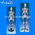 modello di scheletro umano colorata muscolare a grandezza naturale