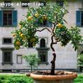 q082201 أنواع مختلفة من النباتات والأشجار الرخيصة أشجار الفاكهة الاصطناعي شجرة الليمون الاصطناعي