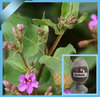 Solvent Extraction Extraction Type and Herbal Extract Type beohavia diffusa extract