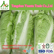 2014 delicious fresh Chinese long cabbage natural cabbage hebei shandong