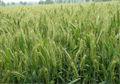 طحين القمح الحيوية الغلوتين الحرة