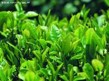 Pur plant extract powder Green Tea P.E Camellia sinensis O. ktze extract polyphenols20%95%98%