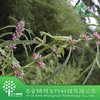 Natural Chinese Plant Extract Motherwort Herb Extract