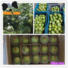 Fresh green apple fruit within plastic bag in hot sale