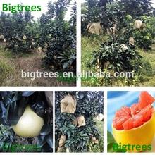 ruso frutas cítricas importador