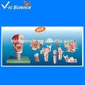 La nariz, de la boca, la faringe laringe modelo anatómico