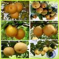 Frais de poire nouvelle récolte de haute qualité pour la vente/poire variétés/php poire