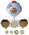 ojo modelo anatómico