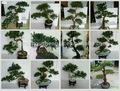 Sjh100567 em forma de bonsai tree início artificial bonsai árvore decorativa pinheiros