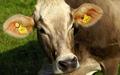 оптовая крупный рогатый скот кличка для коров управления