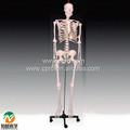 Bix-a1003 modelo de esqueleto humano 42cm