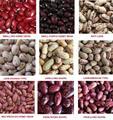 تصدير البقوليات البقوليات/ الفاصوليا نسبة عالية من البروتين/ 2014 المحاصيل الجديدة من الفاصوليا المجففة