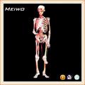 articular la muestra modelo de esqueleto humano