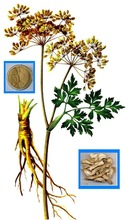 Brown Powder 0.6% Ligustilide Dong Quai Root Extract