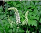 black cohosh powder/black cohosh p.e. supply from BNP