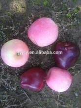fresh apple for 2014 huaniu qinguang fuji apple
